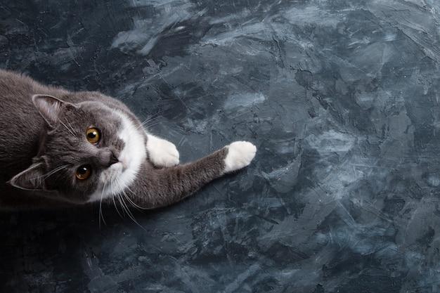 Chat gris sur un fond de béton foncé, atteint quelque chose, la vue d'en haut, l'espace vierge, copie.