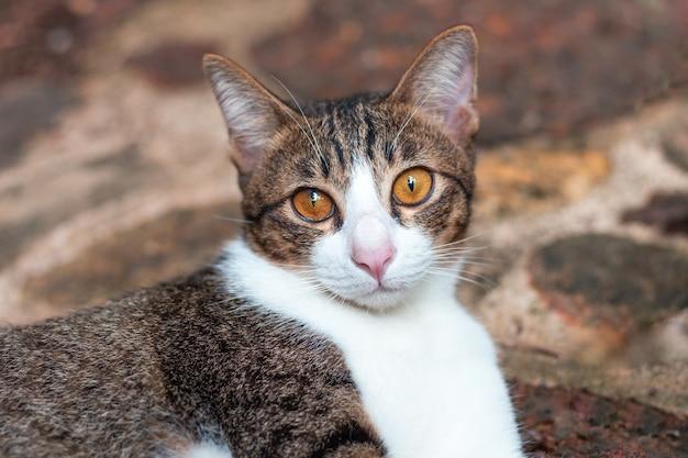 Chat gris avec une fourrure blanche et grise et des yeux jaunes
