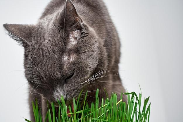 Le chat gris mange de l'herbe verte.