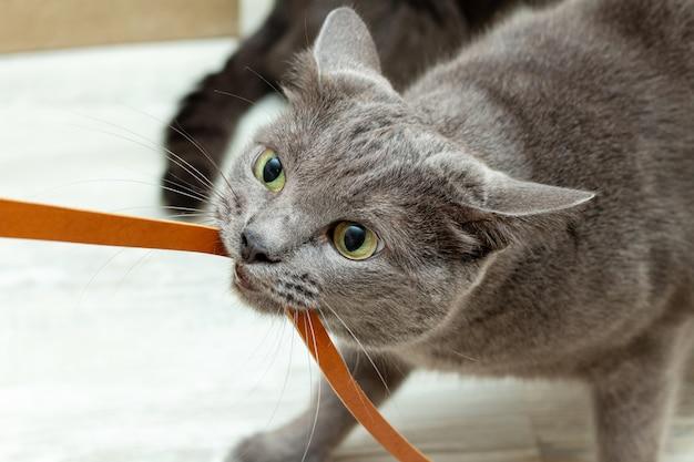 Chat gris mignon jouant avec cordon en cuir
