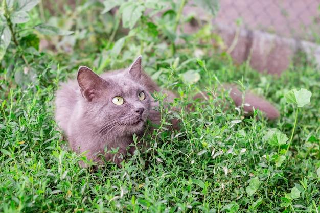 Un chat gris moelleux est assis dans l'herbe et regarde de près