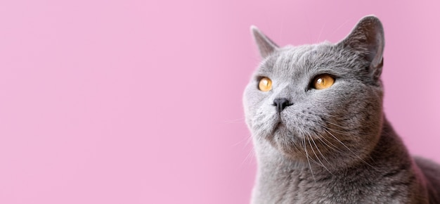 Chat gris avec mur monochrome derrière elle