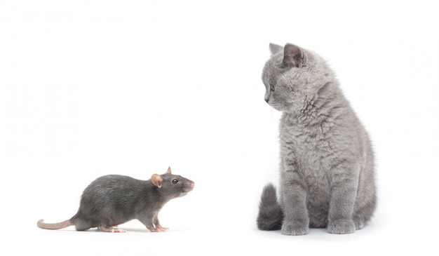 Chat gris et rat