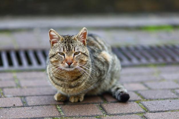 Chat gris sans-abri dans la rue