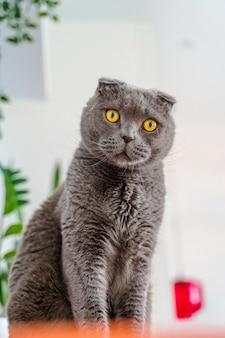 Chat gris scottish fold dans un intérieur de maison moderne