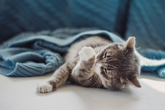 Un chat gris se couche sous une couverture bleue et se lèche la patte.