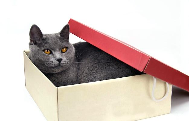 Le chat gris se trouve dans une boîte en carton. fond blanc.