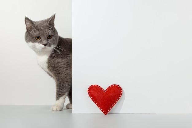Chat gris sort du coin, émotions animales, coeur d'artisanat rouge, saint-valentin, sur un concept blanc.