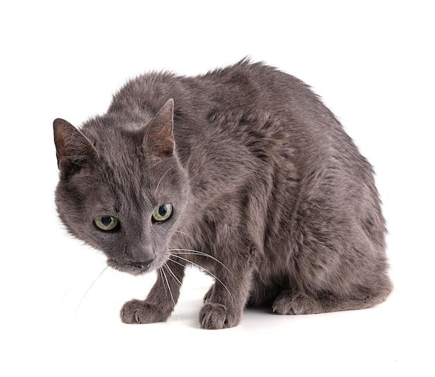Chat gris vintage sur blanc