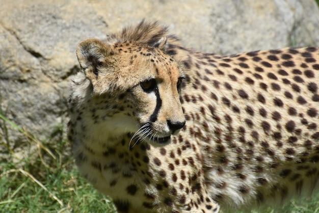 Chat guépard avec la fourrure relevée sur la nuque.