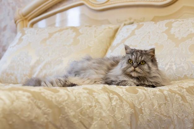 Chat des highlands écossais duveteux gris aux cheveux longs et raides dans un lit luxueux à la maison.