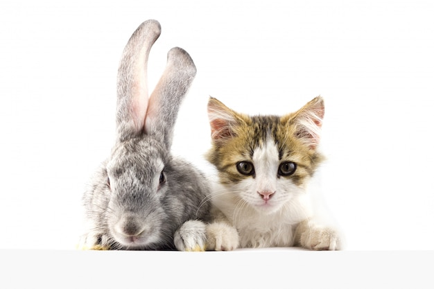 Chat avec un lapin qui regarde devant