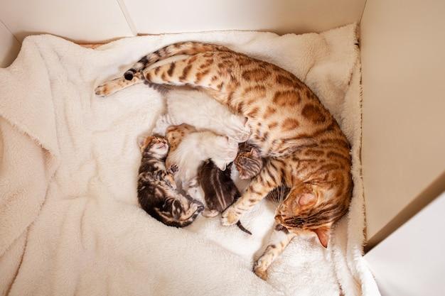 Chat léopard du bengale se trouve sur un plaid beige avec de petits chatons