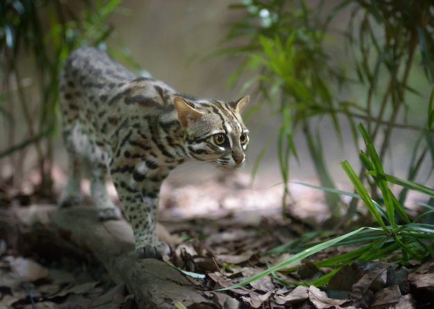 Chat léopard sauvage chasse dans les buissons