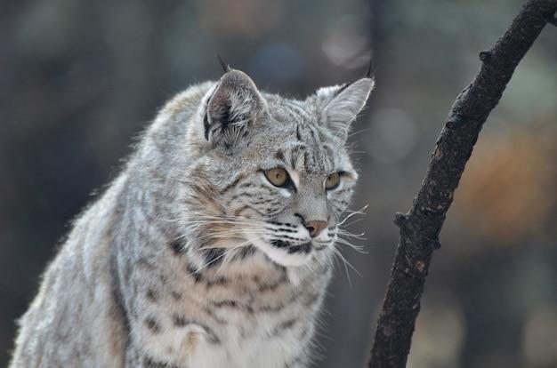 Chat lynx aux oreilles pointues à l'affût.
