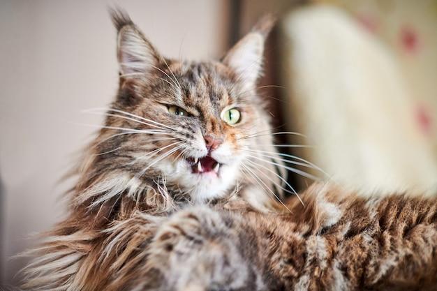 Chat maine coon, gros plan. chat drôle et mignon avec la couleur de la fourrure de marbre. les plus grandes races de félins domestiques. flou artistique.