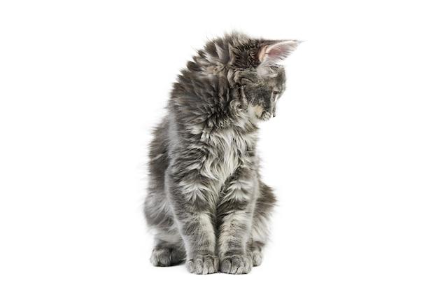 Chat maine coon isolé sur blanc