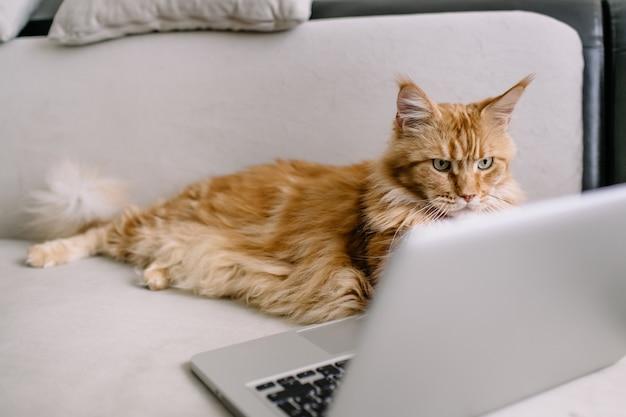 Chat maine coon avec ordinateur portable sur canapé
