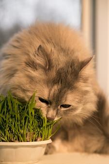 Le chat mange une herbe de chat plantée à l'intérieur