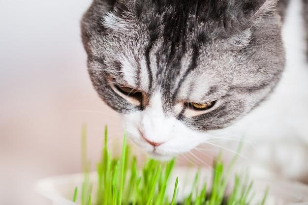 Le chat mange de l'herbe germée pour lui, l'hôtesse a poussé de l'herbe pour chats.