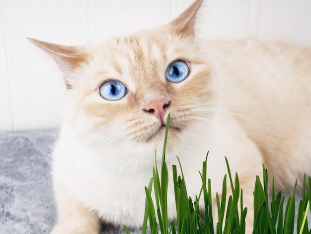 Le chat mange de l'herbe verte fraîche. herbe à chat, herbe pour animaux de compagnie. traitement de hairball naturel.