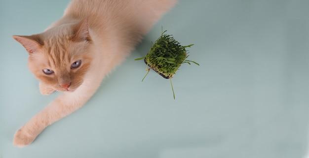 Le chat mange de l'herbe verte fraîche.
