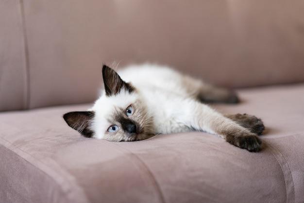 Chat mignon allongé sur le canapé