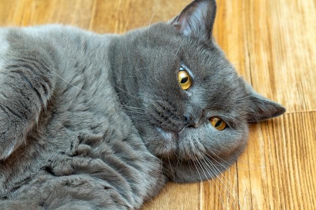 Chat mignon écossais gris aux yeux orange gisant sur le sol