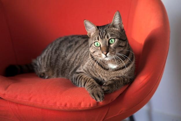 Chat mignon rayé assis sur une chaise rouge.