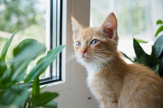 Chat mignon rouge sur une fenêtre blanche avec une plante et dans des pots. le chaton renifle les plantes d'intérieur. dangers des plantes domestiques pour les animaux de compagnie concept