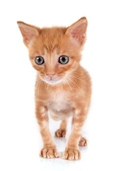 Chat minou avec fourrure orange.