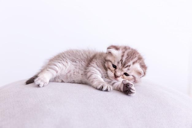 Chat minou sur l'oreiller.