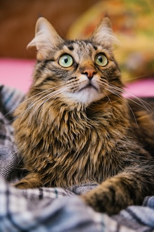 Le chat moelleux lève les yeux et s'allonge sur une couverture douce. de grands yeux verts et une longue moustache. un animal de compagnie.