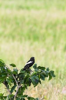 Chat en mousseline de soie sur l'arbre. tarangire, tanzanie