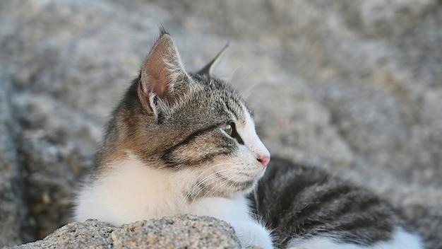 Chat multicolore couché sur les rochers près de la côte de la mer égée en grèce