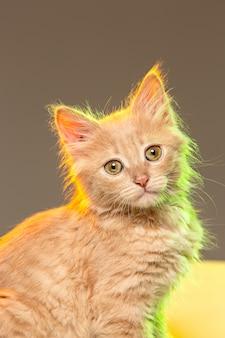 Le chat sur un mur gris avec des néons