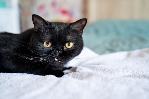 Chat noir aux crocs collants. mauvais problèmes de morsure et de dent chez les animaux. animaux domestiques.