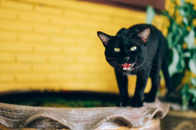 Chat noir aux yeux jaunes siffle