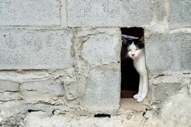 Chat noir et blanc est caché dans le mur de blocs de béton et regarde en avant, fond animal.