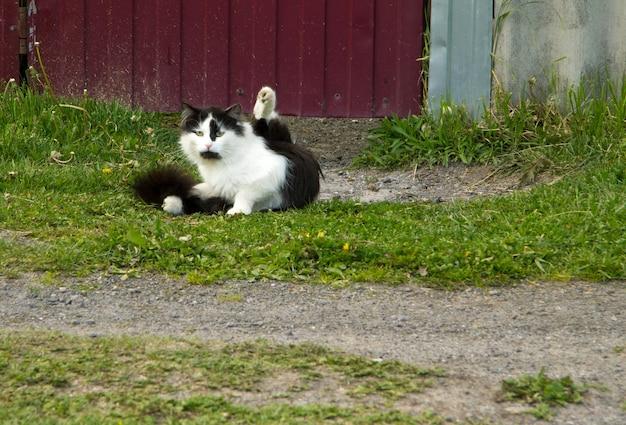Un chat noir et blanc avec un long pelage est assis sur l'herbe. elle leva sa patte de derrière et allait se laver. a l'air droit