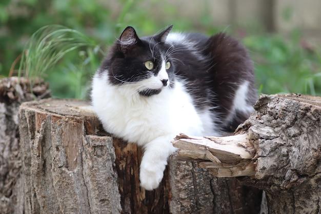 Chat noir et blanc moelleux est assis sur une souche d'arbre près d'un parterre de fleurs grands yeux verts