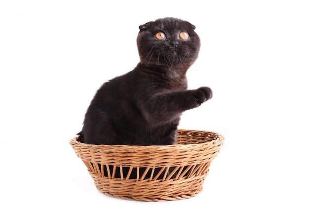 Chat noir britannique avec des yeux jaunes dans le panier sur un fond blanc