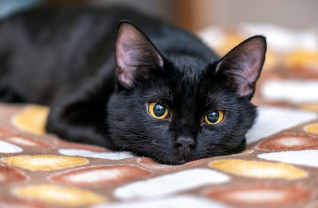 Chat noir domestique regardant et couché sur le lit. portrait de chat noir à la maison