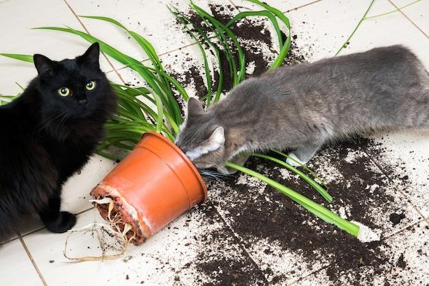 Un chat noir est tombé et a cassé un pot de fleur avec une plante verte sur le sol de la cuisine.