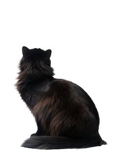 Chat noir isolé sur fond blanc. chemin de détourage.