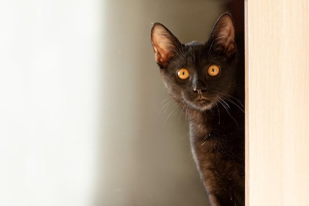 Chat noir yeux jaunes regardent des produits publicitaires d'angle pour animaux de compagnie vétérinaire petrenthood