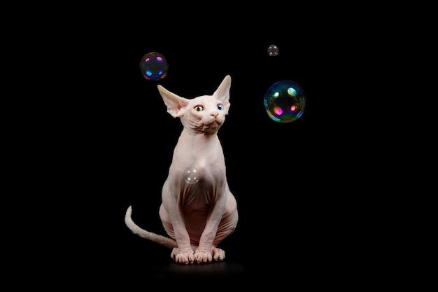 Le chat nu de la race sphynx canadienne exprime l'émotion d'une surprise extrême à la vue des bulles de savon,