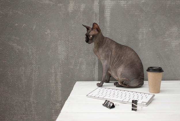 Chat nu sphynx noir assis sur un bureau avec une tasse de café et un clavier blanc