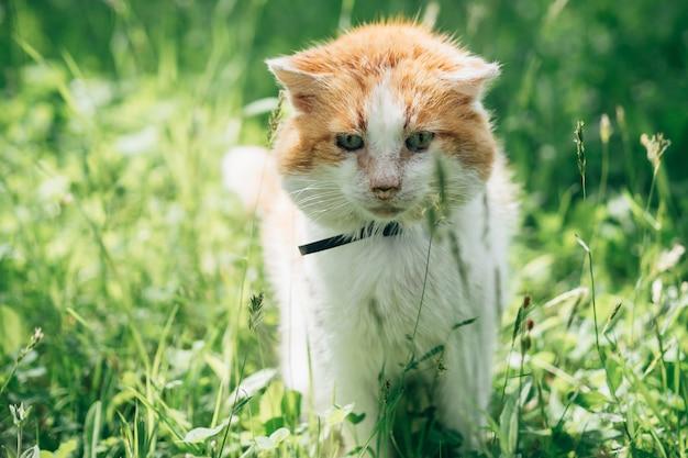 Chat orange blanc adulte assis sur un pré dans le jardin
