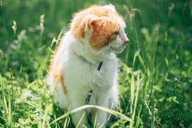 Chat orange blanc adulte dans le jardin sur l'herbe verte